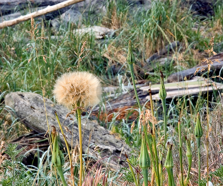 Natural Scene Weed Seedhead stock photo, This natural scene features a dandelion type weed seed head that is a pretty outdoor shot. by Valerie Garner