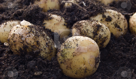 New potatoes in earth stock photo, Close-up of new potatoes partially covered by earth by Christian Rhein
