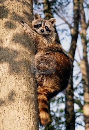 Racoon  stock photo, Curious racoon on the tree by Pavel Cheiko