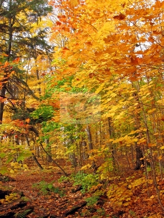 Leaves stock photo, Sunny day in maple forest in october by Pavel Cheiko