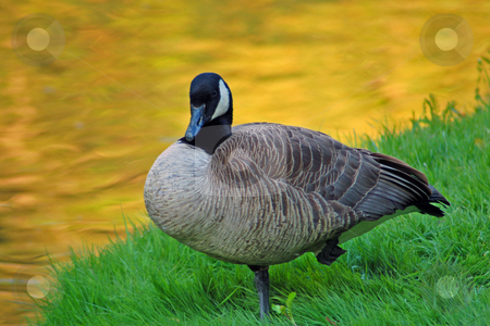 Goose stock photo, Canadian goose on one leg close to pond. by Pavel Cheiko