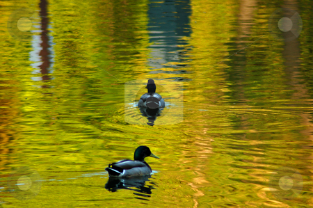 Pond stock photo, Two dacks on like surface in sunset light by Pavel Cheiko