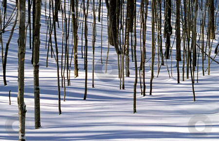 Trees  stock photo, Trees and shadows on the snow in HorseShoe Valley by Pavel Cheiko