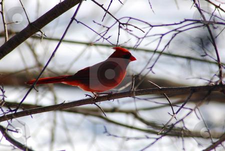 Cardinal stock photo, Cardinalis cardinalis in back lighting by Pavel Cheiko