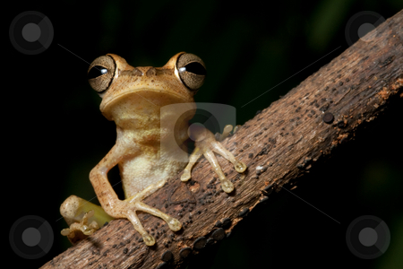 Tree frog with hughe eyes staring into the night stock photo, Tree frog in the bolivian rainforest staring into the night by Dirk Ercken