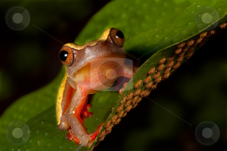 Tree frog stock photo, Colorful tree frog Hypsiboas triangularum in the Bolivian rain forest by Dirk Ercken