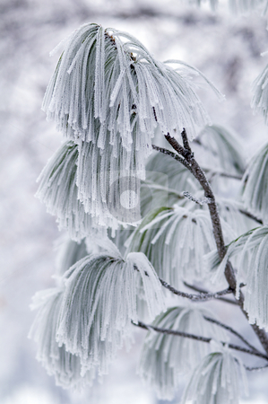 Frozen branch of pine. stock photo, Hoar-frost on frozen branch of pine. by Borislav Stefanov