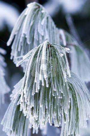 Frozen branch of pine. stock photo, Hoar-frost on frozen branch of pine. by Borislav Stefanov