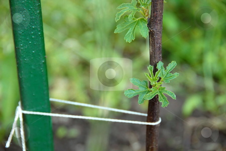 Young fig tree stock photo, Growing fig tree leaves on young tree by Julija Sapic