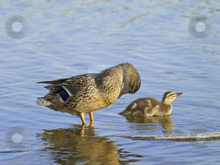 Duck and duckling  stock photo, Duck and little duckling at the blue lake by Sergej Razvodovskij