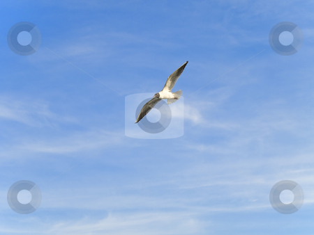 Flying seagull stock photo, Single flying seagul against the blue sky by Sergej Razvodovskij