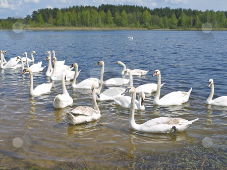 White swans stock photo, Many white swans swimming at the blue lake in wild nature by Sergej Razvodovskij