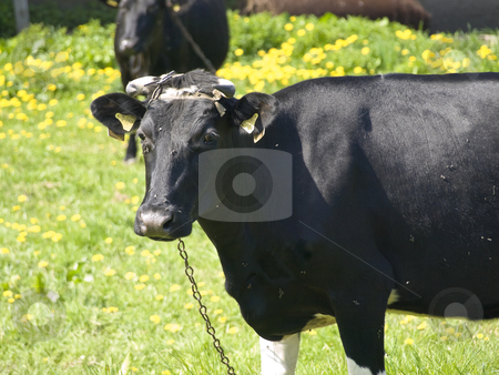 Cow stock photo, Tether black and white cow on the over the green grass by Sergej Razvodovskij