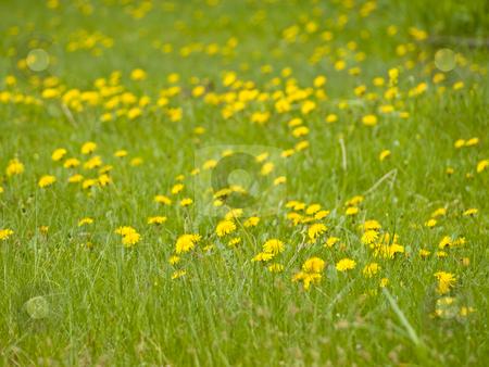Yellow dandelions stock photo, Many yellow spring dandelions at the green grass by Sergej Razvodovskij