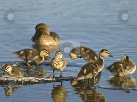 Duck and little ducklings  stock photo, Mother duck and many little ducklings at the blue water by Sergej Razvodovskij