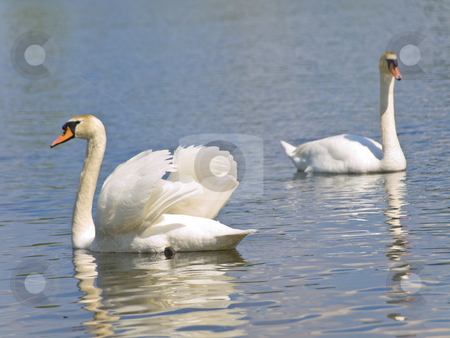 Two swans stock photo, Two white swans swimming at the blue lake in wild nature by Sergej Razvodovskij