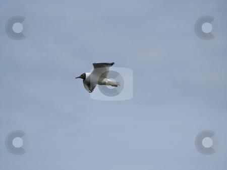 Seagull stock photo, Free seagull flying in the blue sky by Sergej Razvodovskij