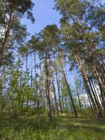 Pinery stock photo, Green pine trees against the blue sky by Sergej Razvodovskij