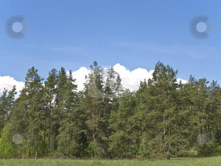 Wild forest stock photo, Wild green forest against the blue sky with clouds by Sergej Razvodovskij