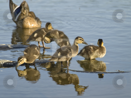 Duck family  stock photo, Mother duck and many little ducklings at the blue water by Sergej Razvodovskij