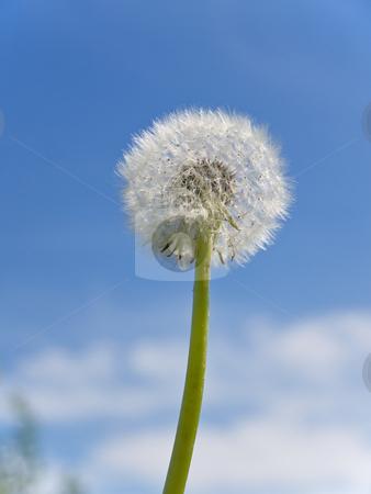 Dandelion stock photo, Blowball of dandelion against the blue sky by Sergej Razvodovskij