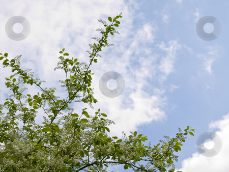 Spring flowers and sky stock photo, Spring white flowers on the branch against the blue sky with clouds by Sergej Razvodovskij