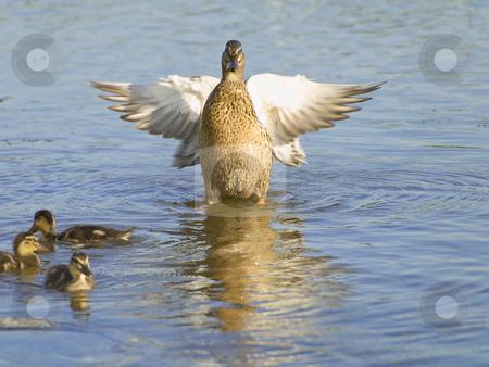 Fly up duck near ducklings  stock photo, Fly up duck near ducklings at the blue lake by Sergej Razvodovskij