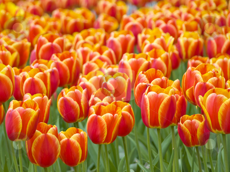 Tulips stock photo, Field of the spring red and yellow tulips by Sergej Razvodovskij
