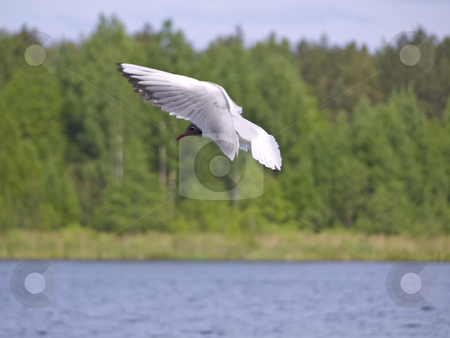 Flying seagull stock photo, Flying under blue water seagull against green forest by Sergej Razvodovskij