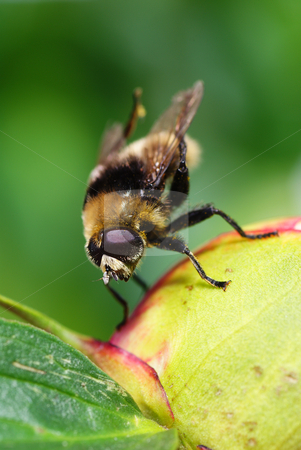Fly stock photo, Fly on bud flowers on green background by Jolanta Dabrowska