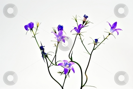 Tiny blue field flower stock photo, Detail of tiny field flower in blue purple color, isolated by Juraj Kovacik