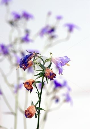 Dry tiny flower stock photo, Dry blue flower with blurred flowers in background by Juraj Kovacik