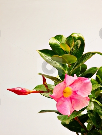 Pink flower and sprout stock photo, Pink flower, sprout and green leaves, isolated by Juraj Kovacik
