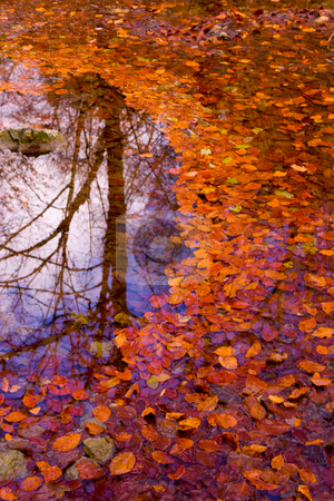 Autumn leaves on the water stock photo, Autumn leaves on the water by Christophe Rolland