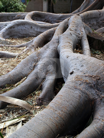 Gnarled tree trunk stock photo, View of gnarled tree trunk roots from aged tree by Jill Reid