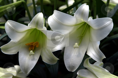 White Easter lilies stock photo, Close-up of white easter lilies by Jill Reid