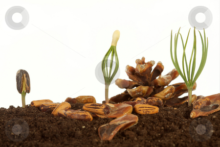 Cedar stock photo, Small sprouts a mighty tree. by Sergey Goruppa