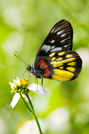 Corlorful Butterfly stock photo, Corlorful Butterfly (Delias pasithoe curasena) by Lawren