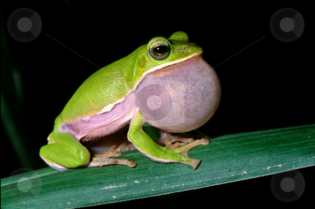 Tree frog courtship stock photo, Tree frog courtship as big bubble by Lawren