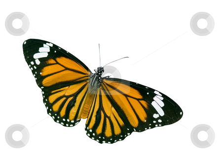 Isolated Butterfly with clipping path stock photo, Isolated Butterfly with clipping path, butterfly in action by Lawren