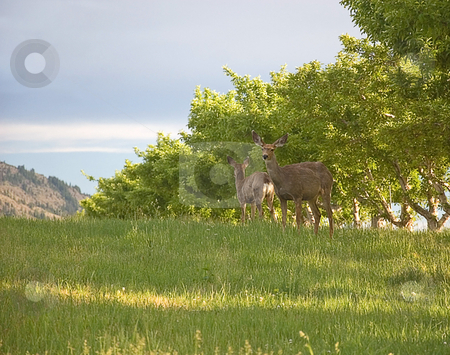 Two Deer in Apple Orchard stock photo, These 2 deer are alert and almost seem to be watching each other's back.  They are in an beautiful apple orchard. by Valerie Garner