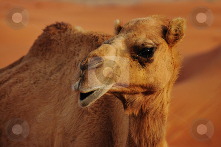 Wild Camel stock photo, A Wild Camel in the middle of the desert in UAE by Roman Kalashnikov