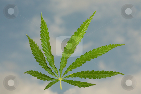 Hemp stock photo, Sheet of a hemp on a background of the blue sky with clouds. by Sergey Goruppa