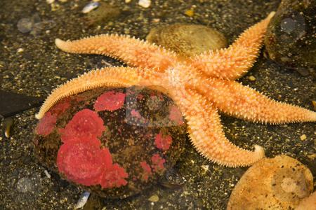 Bright Orange Pacific Starfish Red Stone stock photo, Bright Orange Pacific Starfish, Henricia leviuscula, echinoderm, Alaska by William Perry