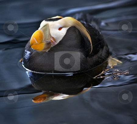 Tufted Puffin Swimming and Resting Alaska stock photo, Tufted Puffin Sea Bird with Reflection Swimming and Sleeping, Alaska by William Perry