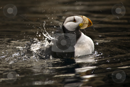 Horned Puffin Spashing with Reflections Alaska stock photo, Horned Puffin Bird Swimming with Reflection Alaska by William Perry