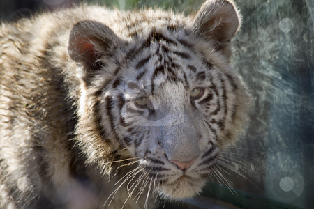 Royal White Bengal Tiger Cub Face Shot stock photo, Royal White Bengal Tiger Cub Portrait Head Shot by William Perry