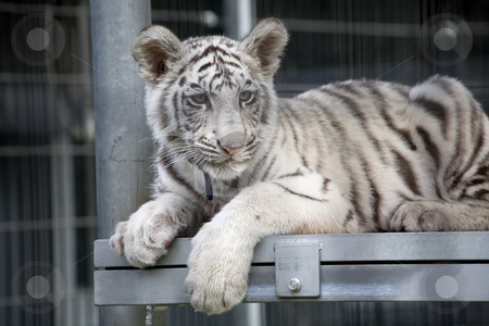 Royal White Bengal Tiger Cub stock photo, Royal White Bengal Tiger Cub.  Only three hundred of these tigers are left in the World. by William Perry