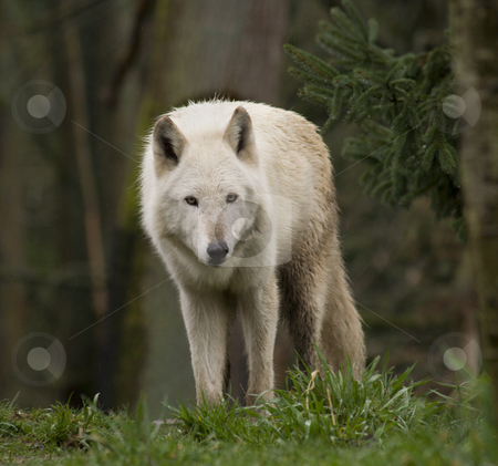 White Wolf Staring At the Crowd stock photo, White Wolf Staring at the Crowd by William Perry