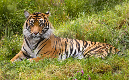Large Striped Sumatran Tiger Relaxing in Grass stock photo, Large Orange Striped Sumatran Tiger, Pantherea Tigris Sumatrae, Lying in the Grass Looking by William Perry